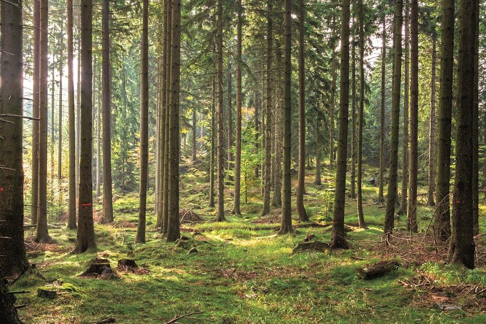 Grzbiety Rudaw niemal w całości porastają świerkowe lasy